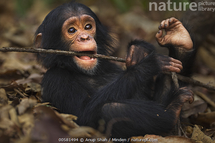 Eastern Chimpanzee (Pan troglodytes schweinfurthii) two year old baby male, named Duke, playing with stick, Gombe National Park, Tanzania, Baby, Biting, Color Image, Cute, Day, Eastern Chimpanzee, Endangered Species, Full Length, Gombe National Park, Horizontal, Male, Nobody, One Animal, Outdoors, Pan troglodytes schweinfurthii, Photography, Playing, Side View, Stick, Tanzania, Wildlife, Young,Eastern Chimpanzee,Tanzania, Anup Shah