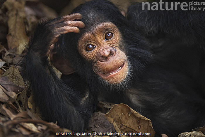Eastern Chimpanzee (Pan troglodytes schweinfurthii) two year old baby male, named Duke, Gombe National Park, Tanzania  ,  Baby, Color Image, Cute, Day, Eastern Chimpanzee, Endangered Species, Gombe National Park, Horizontal, Looking at Camera, Male, Nobody, One Animal, Outdoors, Pan troglodytes schweinfurthii, Photography, Side View, Tanzania, Waist Up, Wildlife, Young,Eastern Chimpanzee,Tanzania  ,  Anup Shah