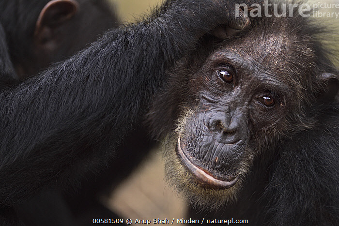 Eastern Chimpanzee (Pan troglodytes schweinfurthii) thirty-seven year old male, named Frodo, being groomed, Gombe National Park, Tanzania  ,  Adult, Bonding, Color Image, Day, Eastern Chimpanzee, Endangered Species, Gombe National Park, Grooming, Head and Shoulders, Horizontal, Male, Nobody, Outdoors, Pan troglodytes schweinfurthii, Photography, Side View, Tanzania, Two Animals, Wildlife,Eastern Chimpanzee,Tanzania  ,  Anup Shah
