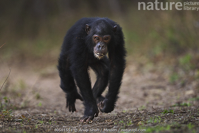 Eastern Chimpanzee (Pan troglodytes schweinfurthii) twelve year old male, named Tom, running, Gombe National Park, Tanzania, Adult, Approaching, Color Image, Day, Eastern Chimpanzee, Endangered Species, Front View, Full Length, Gombe National Park, Horizontal, Knucklewalking, Male, Nobody, One Animal, Outdoors, Pan troglodytes schweinfurthii, Photography, Running, Tanzania, Wildlife,Eastern Chimpanzee,Tanzania, Anup Shah