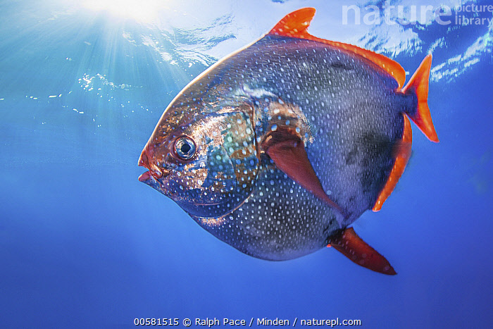 Opah (Lampris guttatus), San Diego, California, Adult, California, Color Image, Day, Full Length, Horizontal, Lampris guttatus, Nobody, One Animal, Opah, Outdoors, Photography, San Diego, Side View, Underwater, Wildlife,Opah,California, USA, Ralph Pace