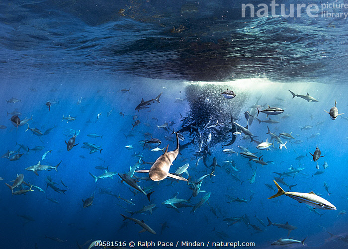 Silky Shark (Carcharhinus falciformis), Galapagos Shark (Carcharhinus galapagensis), Dusky Shark (Carcharhinus obscurus), and Black-tip Shark (Carcharhinus limbatus) group working with Yellowfin Tuna (Thunnus albacares) and Rainbow Runners (Elagatis bipinnulata) to shoal up Bigeye Scad (Selar crumenophthalmus) and Amberstripe Scad (Decapterus muroadsi)  ,  Adult, Amberstripe Scad, Baitball, Bigeye Scad, Black-tip Shark, Carcharhinus falciformis, Carcharhinus galapagensis, Carcharhinus limbatus, Carcharhinus obscurus, Color Image, Cooperation, Day, Decapterus muroadsi, Dusky Shark, Elagatis bipinnulata, Feeding, Feeding Frenzy, Full Length, Galapagos Shark, Horizontal, Large Group of Animals, Mexico, Mixed, Nobody, Outdoors, Photography, Predating, Predator, Prey, Rainbow Runner, Reviliagigedo Island, Selar crumenophthalmus, Side View, Silky Shark, Teamwork, Thunnus albacares, Underwater, Wildlife, Yellowfin Tuna,Silky Shark,Galapagos Shark,Carcharhinus galapagensis,Mexico  ,  Ralph Pace