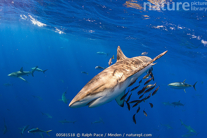 Galapagos Shark (Carcharhinus galapagensis), Reviliagigedo Island, Mexico  ,  Adult, Carcharhinus galapagensis, Color Image, Day, Full Length, Galapagos Shark, Horizontal, Large Group of Animals, Mexico, Nobody, Outdoors, Photography, Reviliagigedo Island, Side View, Underwater, Wildlife,Galapagos Shark,Mexico  ,  Ralph Pace