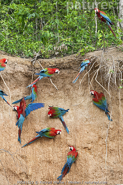 Red and Green Macaw (Ara chloroptera) flock at mineral lick, Tambopata National Reserve, Peru, Adult, Ara chloroptera, Clay Lick, Color Image, Day, Flock, Full Length, Medium Group of Animals, Mineral, Mineral Lick, Nobody, Outdoors, Parrot, Peru, Photography, Red and Green Macaw, Salt, Tambopata National Reserve, Top View, Vertical, Wildlife,Red and Green Macaw,Peru, Konrad Wothe