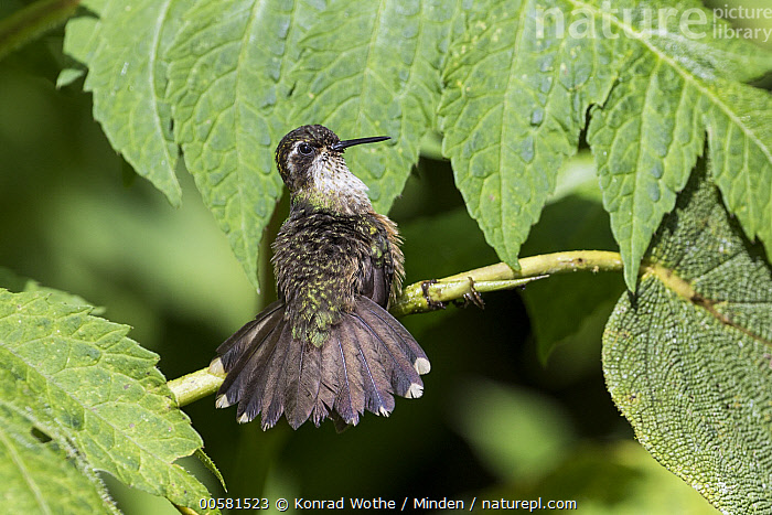 Speckled Hummingbird (Adelomyia melanogenys) drying off, Ecuador  ,  Adelomyia melanogenys, Adult, Color Image, Day, Drying, Ecuador, Full Length, Horizontal, Hummingbird, Nobody, One Animal, Outdoors, Photography, Rear View, Speckled Hummingbird, Spreading, Wildlife,Speckled Hummingbird,Ecuador  ,  Konrad Wothe