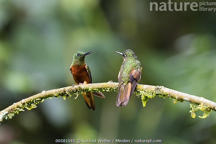 Chestnut-breasted Coronet (Boissonneaua matthewsii) hummingbirds, Ecuador  ,  Adult, Boissonneaua matthewsii, Chestnut-breasted Coronet, Color Image, Day, Ecuador, Front View, Full Length, Horizontal, Hummingbird, Nobody, Outdoors, Photography, Rear View, Two Animals, Wildlife,Chestnut-breasted Coronet,Ecuador  ,  Konrad Wothe