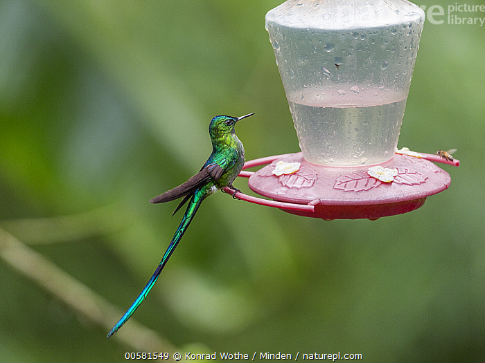Long-tailed Sylph (Aglaiocercus kingi) male at feeder, Ecuador  ,  Adult, Aglaiocercus kingi, Bird Feeder, Color Image, Day, Ecuador, Full Length, Horizontal, Hummingbird, Long-tailed Sylph, Male, Nobody, One Animal, Outdoors, Photography, Side View, Wildlife,Long-tailed Sylph,Ecuador  ,  Konrad Wothe