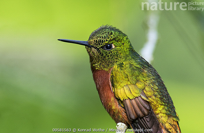 Chestnut-breasted Coronet (Boissonneaua matthewsii) hummingbird, Ecuador  ,  Adult, Boissonneaua matthewsii, Chestnut-breasted Coronet, Color Image, Day, Ecuador, Horizontal, Hummingbird, Nobody, One Animal, Outdoors, Photography, Side View, Waist Up, Wildlife,Chestnut-breasted Coronet,Ecuador  ,  Konrad Wothe