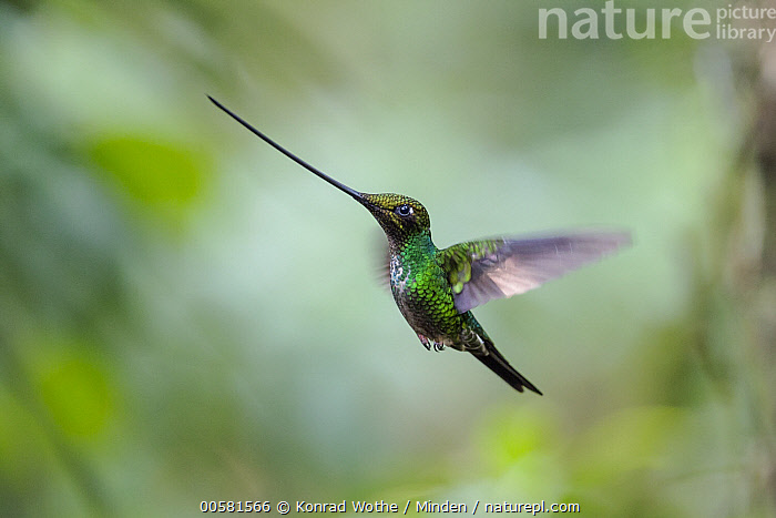 Sword-billed Hummingbird (Ensifera ensifera) flying, Ecuador  ,  Adult, Blurred Motion, Color Image, Day, Ecuador, Ensifera ensifera, Flying, Full Length, Horizontal, Hummingbird, Nobody, One Animal, Outdoors, Photography, Side View, Sword-billed Hummingbird, Wildlife,Sword-billed Hummingbird,Ecuador  ,  Konrad Wothe