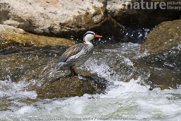 Torrent Duck (Merganetta armata) male in river, Ecuador  ,  Adult, Color Image, Day, Ecuador, Full Length, Horizontal, Male, Merganetta armata, Nobody, One Animal, Outdoors, Photography, River, Side View, Torrent Duck, Waterfowl, Wildlife,Torrent Duck,Ecuador  ,  Konrad Wothe