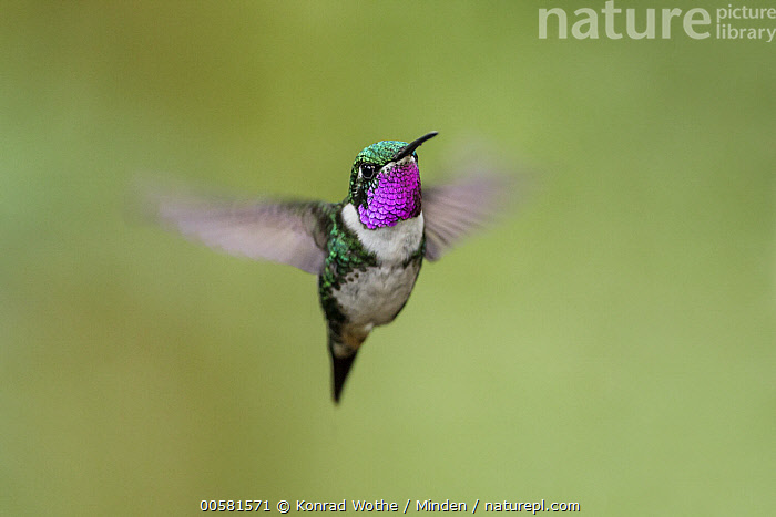 White-bellied Woodstar (Chaetocercus mulsant) male flying, Ecuador  ,  Adult, Blurred Motion, Chaetocercus mulsant, Color Image, Day, Ecuador, Flying, Front View, Full Length, Horizontal, Hummingbird, Male, Nobody, One Animal, Outdoors, Photography, White-bellied Woodstar, Wildlife,White-bellied Woodstar,Ecuador  ,  Konrad Wothe