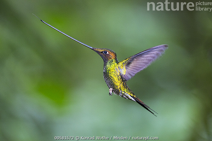 Sword-billed Hummingbird (Ensifera ensifera) flying, Ecuador  ,  Adult, Color Image, Day, Ecuador, Ensifera ensifera, Flying, Full Length, High Speed, Horizontal, Hummingbird, Nobody, One Animal, Outdoors, Photography, Side View, Sword-billed Hummingbird, Wildlife,Sword-billed Hummingbird,Ecuador  ,  Konrad Wothe