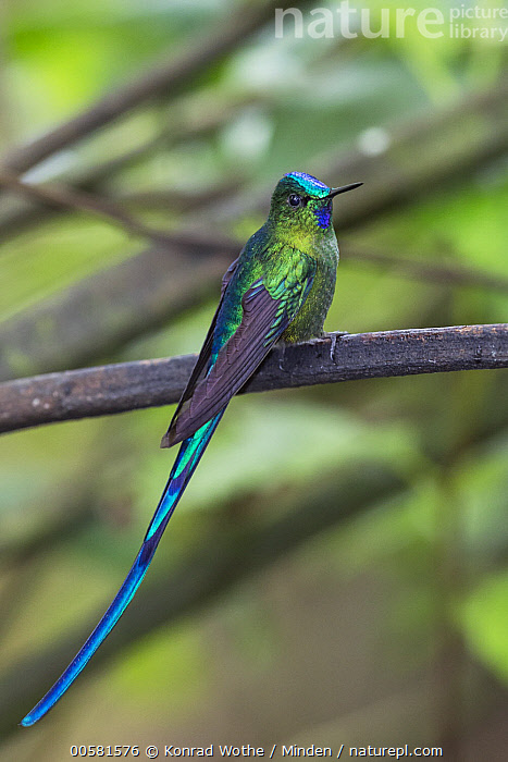 Long-tailed Sylph (Aglaiocercus kingi) male, Ecuador  ,  Adult, Aglaiocercus kingi, Color Image, Day, Ecuador, Full Length, Hummingbird, Long-tailed Sylph, Male, Nobody, One Animal, Outdoors, Photography, Side View, Vertical, Wildlife,Long-tailed Sylph,Ecuador  ,  Konrad Wothe