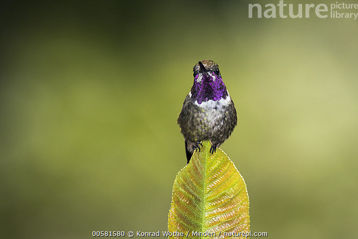 Purple-throated Woodstar (Philodice mitchellii) male, Ecuador, Adult, Color Image, Day, Ecuador, Front View, Full Length, Horizontal, Hummingbird, Looking at Camera, Male, Nobody, One Animal, Outdoors, Philodice mitchellii, Photography, Purple-throated Woodstar, Wildlife,Purple-throated Woodstar,Ecuador, Konrad Wothe