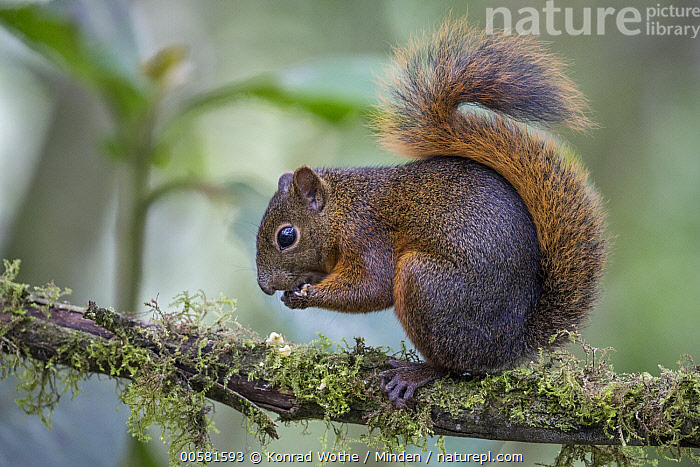 Red-tailed Squirrel (Sciurus granatensis) feeding, northern Ecuador, Adult, Arboreal, Color Image, Day, Ecuador, Feeding, Full Length, Horizontal, Nobody, One Animal, Outdoors, Photography, Red-tailed Squirrel, Sciurus granatensis, Side View, Wildlife,Red-tailed Squirrel,Ecuador, Konrad Wothe
