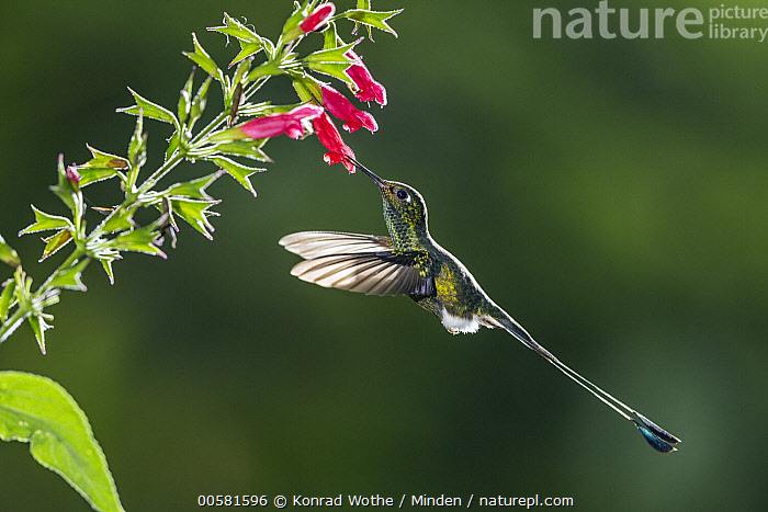 Booted Racket-tail (Ocreatus underwoodii) feeding on flower nectar, Ecuador  ,  Adult, Booted Racket-tail, Color Image, Day, Ecuador, Feeding, Flower, Flying, Full Length, High Speed, Horizontal, Hummingbird, Nectar, Nobody, Ocreatus underwoodii, One Animal, Outdoors, Photography, Side View, Wildlife,Booted Racket-tail,Ecuador  ,  Konrad Wothe