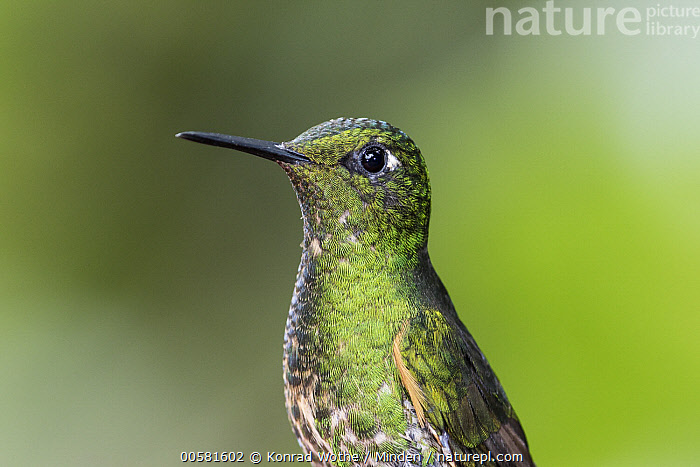 Buff-tailed Coronet (Boissonneaua flavescens) female, Ecuador  ,  Adult, Boissonneaua flavescens, Buff-tailed Coronet, Color Image, Day, Ecuador, Female, Horizontal, Hummingbird, Nobody, One Animal, Outdoors, Photography, Side View, Waist Up, Wildlife,Buff-tailed Coronet,Ecuador  ,  Konrad Wothe