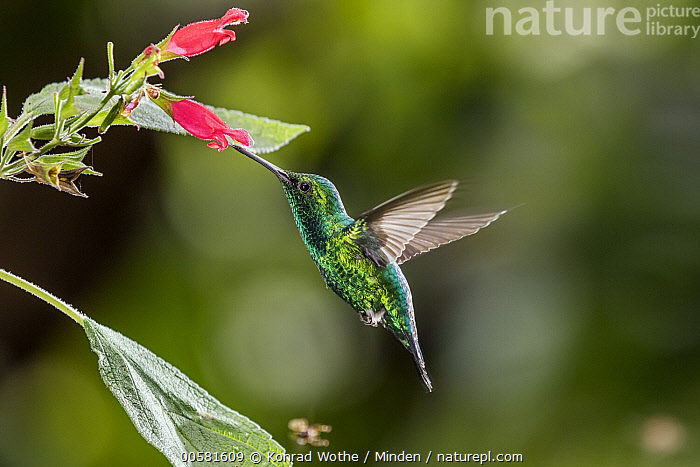 Blue-tailed Emerald (Chlorostilbon mellisugus) feeding on flower nectar, Ecuador, Adult, Blue-tailed Emerald, Chlorostilbon mellisugus, Color Image, Day, Ecuador, Feeding, Flower, Flying, Full Length, High Speed, Horizontal, Hummingbird, Nectar, Nobody, One Animal, Outdoors, Photography, Side View, Wildlife,Blue-tailed Emerald,Ecuador, Konrad Wothe