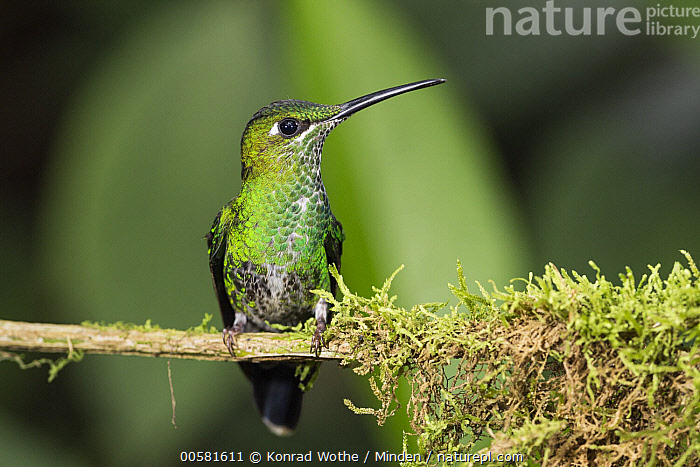 Green-crowned Brilliant (Heliodoxa jacula) female, Ecuador  ,  Adult, Color Image, Day, Ecuador, Female, Front View, Full Length, Green-crowned Brilliant, Heliodoxa jacula, Horizontal, Hummingbird, Nobody, One Animal, Outdoors, Photography, Wildlife,Green-crowned Brilliant,Ecuador  ,  Konrad Wothe