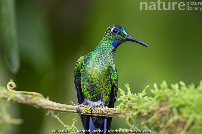 Green-crowned Brilliant (Heliodoxa jacula) male, Ecuador, Adult, Color Image, Day, Ecuador, Front View, Green-crowned Brilliant, Heliodoxa jacula, Horizontal, Hummingbird, Male, Nobody, One Animal, Outdoors, Photography, Three Quarter Length, Wildlife,Green-crowned Brilliant,Ecuador, Konrad Wothe