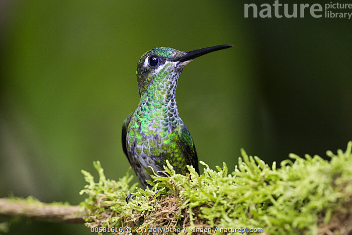 Green-crowned Brilliant (Heliodoxa jacula) female, Ecuador  ,  Adult, Color Image, Day, Ecuador, Female, Green-crowned Brilliant, Heliodoxa jacula, Horizontal, Hummingbird, Nobody, One Animal, Outdoors, Photography, Side View, Waist Up, Wildlife,Green-crowned Brilliant,Ecuador  ,  Konrad Wothe