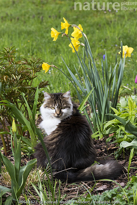 Domestic Cat (Felis catus) in garden, Bavaria, Germany, Adult, Backyard, Bavaria, Color Image, Daffodil, Day, Domestic Cat, Felis catus, Full Length, Garden, Germany, Looking at Camera, Nobody, One Animal, Outdoors, Photography, Side View, Vertical, Wildlife,Domestic Cat,Germany, Konrad Wothe