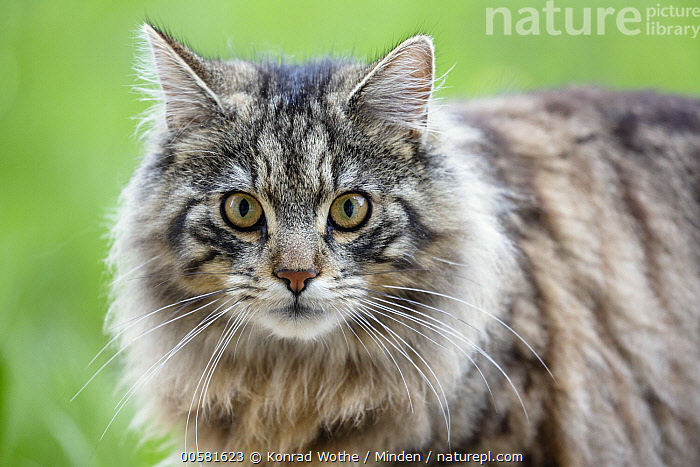 Domestic Cat (Felis catus), Bavaria, Germany  ,  Adult, Bavaria, Color Image, Day, Domestic Cat, Felis catus, Germany, Horizontal, Looking at Camera, Nobody, One Animal, Outdoors, Photography, Side View, Waist Up, Wildlife,Domestic Cat,Germany  ,  Konrad Wothe