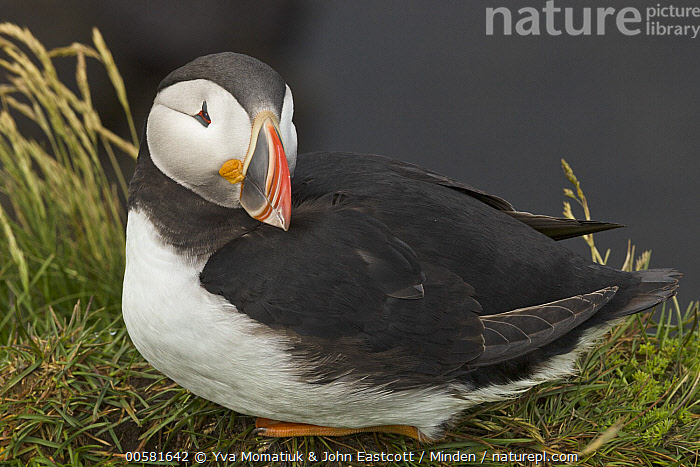 Atlantic Puffin (Fratercula arctica), Latrabjarg, Westfjords, Iceland  ,  Adult, Atlantic Puffin, Color Image, Day, Fratercula arctica, Full Length, Horizontal, Iceland, Latrabjarg, Nobody, One Animal, Outdoors, Photography, Seabird, Side View, Westfjords, Wildlife,Atlantic Puffin,Iceland  ,  Yva Momatiuk & John Eastcott