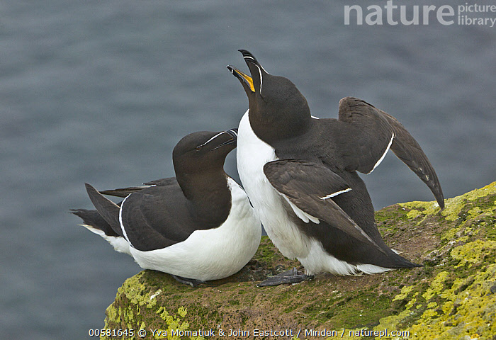 Razorbill (Alca torda) pair courting on cliff, Latrabjarg, Westfjords, Iceland  ,  Adult, Alca torda, Color Image, Courting, Day, Displaying, Female, Full Length, Horizontal, Iceland, Latrabjarg, Male, Nobody, Outdoors, Photography, Posture, Razorbill, Seabird, Side View, Spreading Wings, Two Animals, Westfjords, Wildlife,Razorbill,Iceland  ,  Yva Momatiuk & John Eastcott