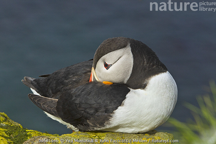 Atlantic Puffin (Fratercula arctica) sleeping, Latrabjarg, Westfjords, Iceland  ,  Adult, Atlantic Puffin, Color Image, Day, Fratercula arctica, Full Length, Horizontal, Iceland, Latrabjarg, Nobody, One Animal, Outdoors, Photography, Seabird, Side View, Sleeping, Westfjords, Wildlife,Atlantic Puffin,Iceland  ,  Yva Momatiuk & John Eastcott