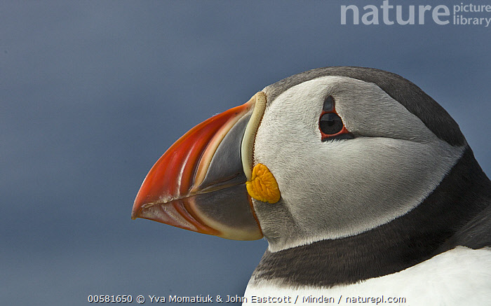 Atlantic Puffin (Fratercula arctica), Latrabjarg, Westfjords, Iceland, Adult, Atlantic Puffin, Close Up, Color Image, Day, Fratercula arctica, Head and Shoulders, Horizontal, Iceland, Latrabjarg, Nobody, One Animal, Outdoors, Photography, Portrait, Profile, Seabird, Side View, Westfjords, Wildlife,Atlantic Puffin,Iceland, Yva Momatiuk & John Eastcott