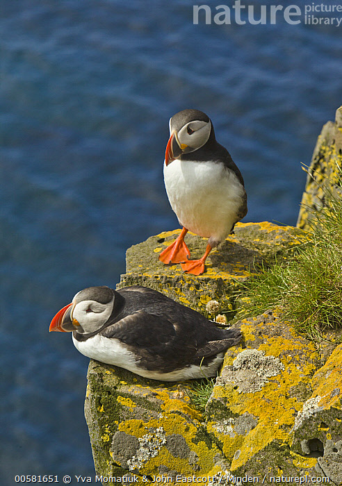 Atlantic Puffin (Fratercula arctica) pair, Latrabjarg, Westfjords, Iceland, Adult, Atlantic Puffin, Color Image, Day, Fratercula arctica, Full Length, High Angle View, Iceland, Latrabjarg, Nobody, Outdoors, Photography, Seabird, Side View, Two Animals, Vertical, Westfjords, Wildlife,Atlantic Puffin,Iceland, Yva Momatiuk & John Eastcott