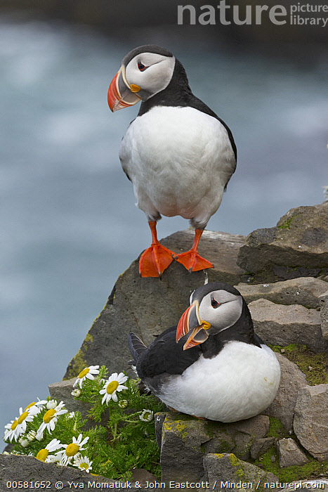 Atlantic Puffin (Fratercula arctica) pair, Latrabjarg, Westfjords, Iceland  ,  Adult, Atlantic Puffin, Color Image, Day, Fratercula arctica, Front View, Full Length, Iceland, Latrabjarg, Nobody, Outdoors, Photography, Seabird, Two Animals, Vertical, Westfjords, Wildlife,Atlantic Puffin,Iceland  ,  Yva Momatiuk & John Eastcott