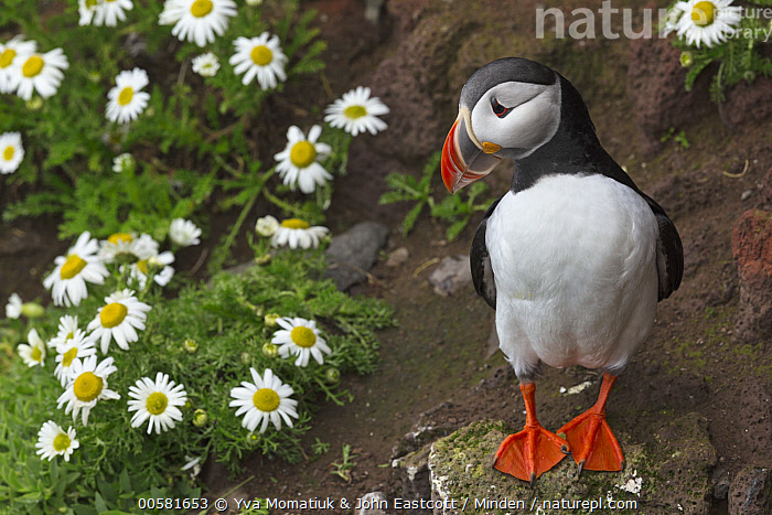 Atlantic Puffin (Fratercula arctica), Latrabjarg, Westfjords, Iceland, Adult, Atlantic Puffin, Color Image, Day, Fratercula arctica, Front View, Full Length, Horizontal, Iceland, Latrabjarg, Nobody, One Animal, Outdoors, Photography, Seabird, Westfjords, Wildlife,Atlantic Puffin,Iceland, Yva Momatiuk & John Eastcott