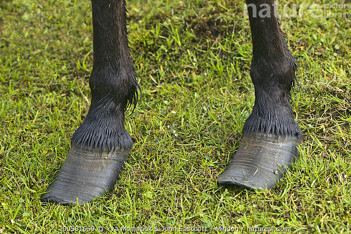Icelandic Horse (Equus caballus) with overgrown hooves, Iceland, Adult, Close Up, Color Image, Day, Equus caballus, Hoof, Horizontal, Iceland, Icelandic Horse, Nobody, One Animal, Outdoors, Overgrown, Photography, Side View, Wildlife,Icelandic Horse,Iceland, Yva Momatiuk & John Eastcott