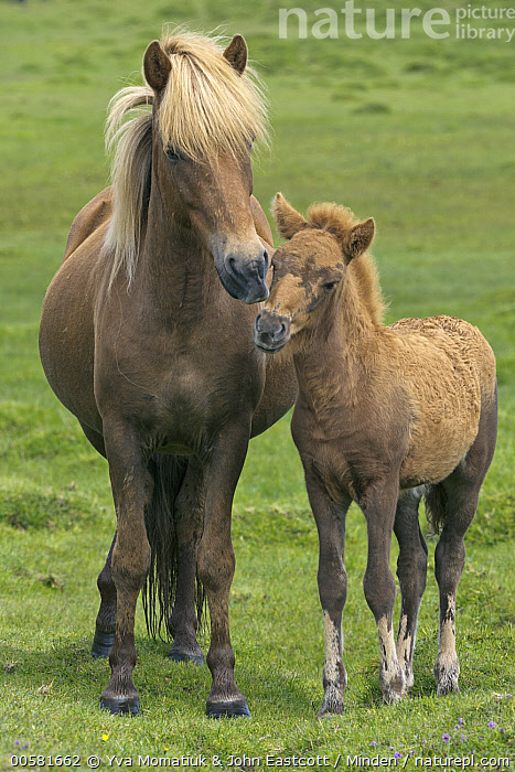 Icelandic Horse (Equus caballus) mare and foal, Iceland, Adult, Baby, Blonde, Color Image, Day, Equus caballus, Female, Foal, Front View, Full Length, Iceland, Icelandic Horse, Mare, Mother, Nobody, Outdoors, Parent, Photography, Two Animals, Vertical, Wildlife,Icelandic Horse,Iceland, Yva Momatiuk & John Eastcott