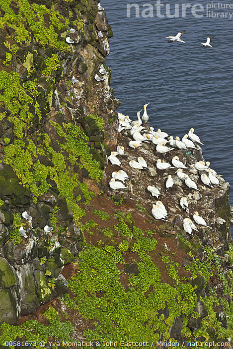 Northern Gannet (Morus bassanus) and Black-legged Kittiwake (Rissa tridactyla) colony, Langanes Peninsula, Iceland  ,  Adult, Black-legged Kittiwake, Cliff, Color Image, Colony, Day, Full Length, High Angle View, Iceland, Langanes Peninsula, Large Group of Animals, Morus bassanus, Nesting, Nobody, Northern Gannet, Outdoors, Photography, Rissa tridactyla, Seabird, Side View, Vertical, Wildlife,Northern Gannet,Black-legged Kittiwake,Rissa tridactyla,Iceland  ,  Yva Momatiuk & John Eastcott
