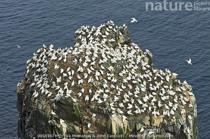 Northern Gannet (Morus bassanus) colony, Langanes Peninsula, Iceland, Adult, Color Image, Colony, Day, Full Length, High Angle View, Horizontal, Iceland, Langanes Peninsula, Large Group of Animals, Morus bassanus, Nobody, Northern Gannet, Outdoors, Photography, Seabird, Side View, Wildlife,Northern Gannet,Iceland, Yva Momatiuk & John Eastcott