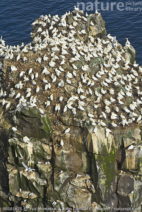 Northern Gannet (Morus bassanus) colony, Langanes Peninsula, Iceland, Adult, Color Image, Colony, Day, Full Length, High Angle View, Iceland, Langanes Peninsula, Large Group of Animals, Morus bassanus, Nobody, Northern Gannet, Outdoors, Photography, Seabird, Side View, Vertical, Wildlife,Northern Gannet,Iceland, Yva Momatiuk & John Eastcott