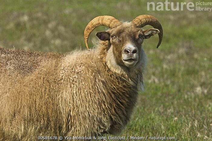 Domestic Sheep (Ovis aries), Langanes Peninsula, Iceland  ,  Adult, Color Image, Day, Domestic Sheep, Horizontal, Iceland, Langanes Peninsula, Looking at Camera, Nobody, One Animal, Outdoors, Ovis aries, Photography, Side View, Waist Up, Wildlife,Domestic Sheep,Iceland  ,  Yva Momatiuk & John Eastcott