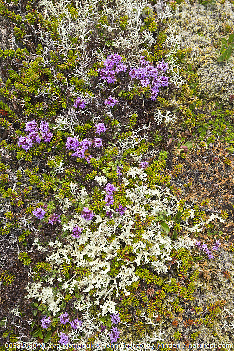 Purple Saxifrage (Saxifraga oppositifolia) and Reindeer Moss (Cladonia rangiferina) in tundra, Langanes Peninsula, Iceland  ,  Cladonia rangiferina, Color Image, Day, Flower, Iceland, Langanes Peninsula, Nobody, Outdoors, Photography, Purple, Purple Saxifrage, Reindeer Moss, Saxifraga oppositifolia, Vertical,Purple Saxifrage,Reindeer Moss,Cladonia rangiferina,Iceland  ,  Yva Momatiuk & John Eastcott