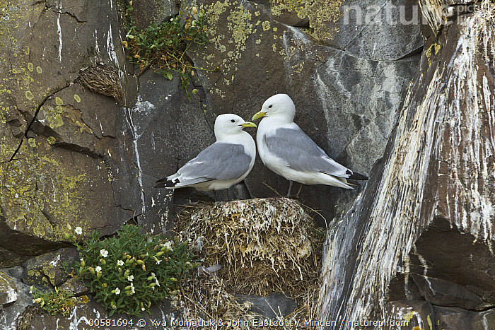 Black-legged Kittiwake (Rissa tridactyla) pair on cliff nest, Borgarfjordur Eystri, Iceland, Adult, Black-legged Kittiwake, Borgarfjordur Eystri, Color Image, Day, Full Length, Horizontal, Iceland, Nest, Nobody, Outdoors, Photography, Rissa tridactyla, Seabird, Side View, Two Animals, Wildlife,Black-legged Kittiwake,Iceland, Yva Momatiuk & John Eastcott