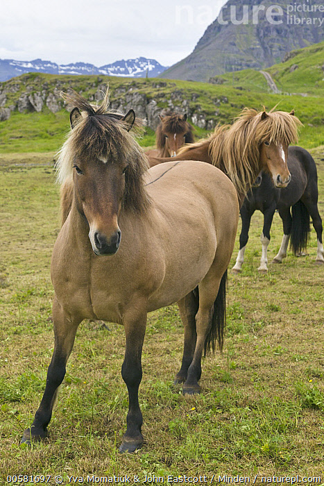 Icelandic Horse (Equus caballus) herd, Mjoifjordur, Iceland, Adult, Color Image, Day, Equus caballus, Four Animals, Front View, Full Length, Herd, Iceland, Icelandic Horse, Looking at Camera, Mjoifjordur, Nobody, Outdoors, Photography, Side View, Vertical, Wildlife,Icelandic Horse,Iceland, Yva Momatiuk & John Eastcott