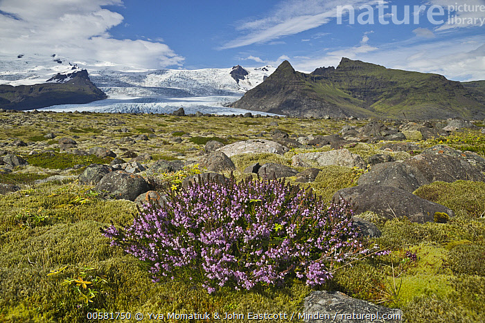 Heather (Calluna sp) flowering in tundra, Skaftafell National Park, Iceland  ,  Blue Sky, Calluna sp, Color Image, Day, Flowering, Flower, Heather, Horizontal, Iceland, Landscape, Nobody, Outdoors, Photography, Skaftafell National Park, Tundra,Heather,Iceland  ,  Yva Momatiuk & John Eastcott