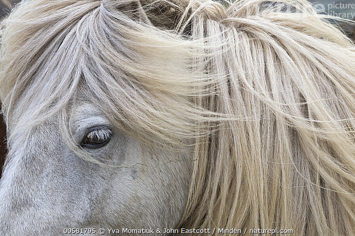 Icelandic Horse (Equus caballus), Hveravellir, Iceland, Adult, Close Up, Color Image, Day, Detail, Equus caballus, Head, Horizontal, Hveravellir, Iceland, Icelandic Horse, Nobody, One Animal, Outdoors, Photography, Portrait, Profile, Side View, White, Wildlife,Icelandic Horse,Iceland, Yva Momatiuk & John Eastcott