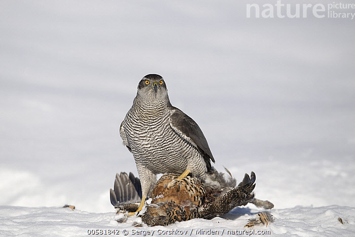 Northern Goshawk (Accipiter gentilis) feeding on Black Grouse (Tetrao tetrix) female in winter, Finland  ,  Accipiter gentilis, Adult, Black Grouse, Carcass, Color Image, Day, Dead, Death, Feeding, Female, Finland, Full Length, Gamebird, Horizontal, Nobody, Northern Goshawk, One Animal, Outdoors, Photography, Predator, Prey, Raptor, Side View, Snow, Tetrao tetrix, Wildlife, Winter,Northern Goshawk,Black Grouse,Tetrao tetrix,Finland  ,  Sergey Gorshkov