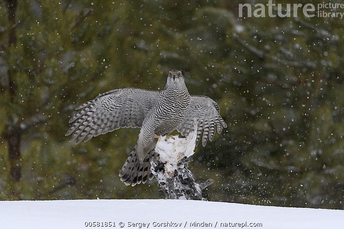 Northern Goshawk (Accipiter gentilis) with bird prey in winter, Finland, Accipiter gentilis, Adult, Bird, Color Image, Day, Finland, Front View, Full Length, Horizontal, Looking at Camera, Nobody, Northern Goshawk, One Animal, Outdoors, Photography, Predator, Prey, Raptor, Snow, Wildlife, Winter,Northern Goshawk,Finland, Sergey Gorshkov