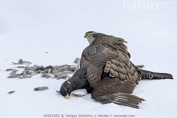 Northern Goshawk (Accipiter gentilis) protecting male Western Capercaillie (Tetrao urogallus) prey in snow, Finland  ,  Accipiter gentilis, Adult, Carcass, Color Image, Day, Dead, Death, Finland, Full Length, Gamebird, Guarding, Horizontal, Male, Nobody, Northern Goshawk, One Animal, Outdoors, Photography, Predator, Prey, Protecting, Raptor, Side View, Snow, Spreading Wings, Tetrao urogallus, Western Capercaillie, Wildlife, Winter,Northern Goshawk,Western Capercaillie,Tetrao urogallus,Finland  ,  Sergey Gorshkov
