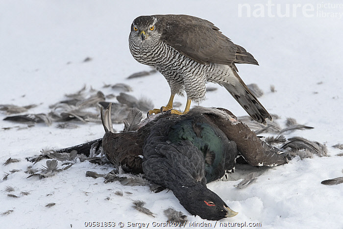 Northern Goshawk (Accipiter gentilis) protecting male Western Capercaillie (Tetrao urogallus) prey in snow, Finland, Accipiter gentilis, Adult, Carcass, Color Image, Day, Dead, Death, Finland, Full Length, Gamebird, Horizontal, Male, Nobody, Northern Goshawk, One Animal, Outdoors, Photography, Predator, Prey, Raptor, Side View, Snow, Tetrao urogallus, Western Capercaillie, Wildlife, Winter,Northern Goshawk,Western Capercaillie,Tetrao urogallus,Finland, Sergey Gorshkov