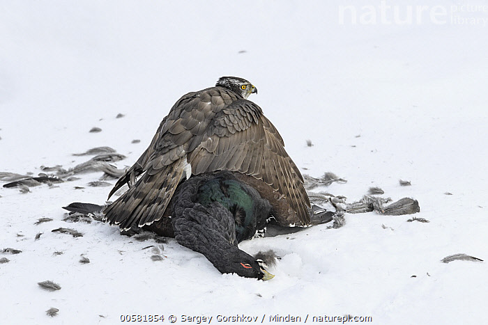 Northern Goshawk (Accipiter gentilis) protecting male Western Capercaillie (Tetrao urogallus) prey in snow, Finland, Accipiter gentilis, Adult, Carcass, Color Image, Day, Dead, Death, Finland, Full Length, Gamebird, Guarding, Horizontal, Male, Nobody, Northern Goshawk, One Animal, Outdoors, Photography, Predator, Prey, Protecting, Raptor, Rear View, Side View, Snow, Spreading Wings, Tetrao urogallus, Western Capercaillie, Wildlife, Winter,Northern Goshawk,Western Capercaillie,Tetrao urogallus,Finland, Sergey Gorshkov